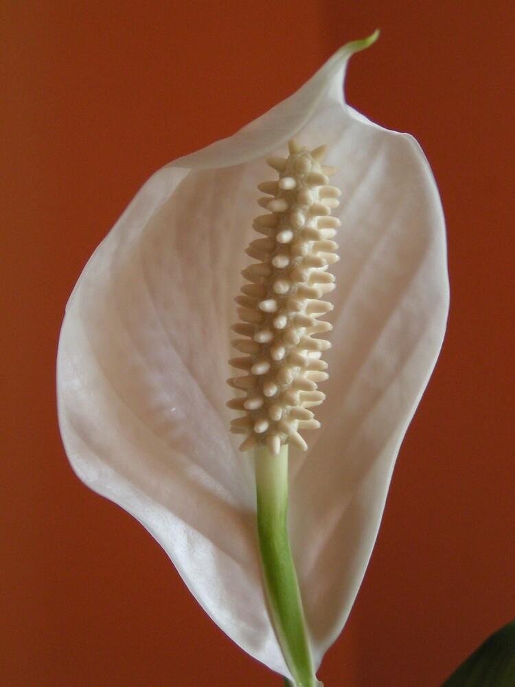 Peace Lily by ralphdot