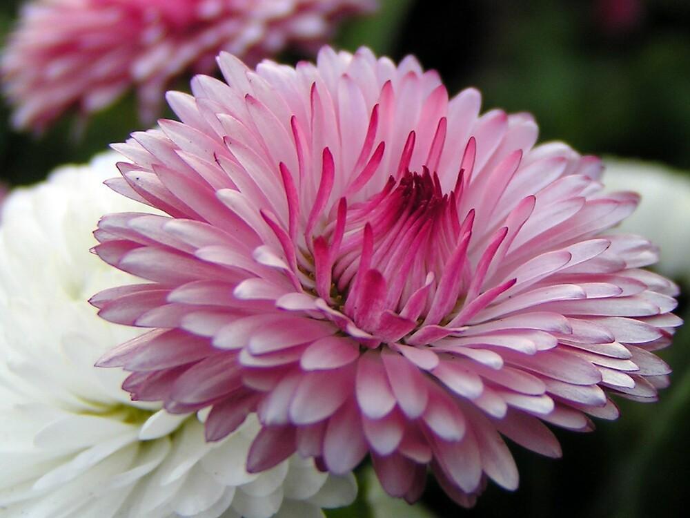 Pink Flower by ralphdot