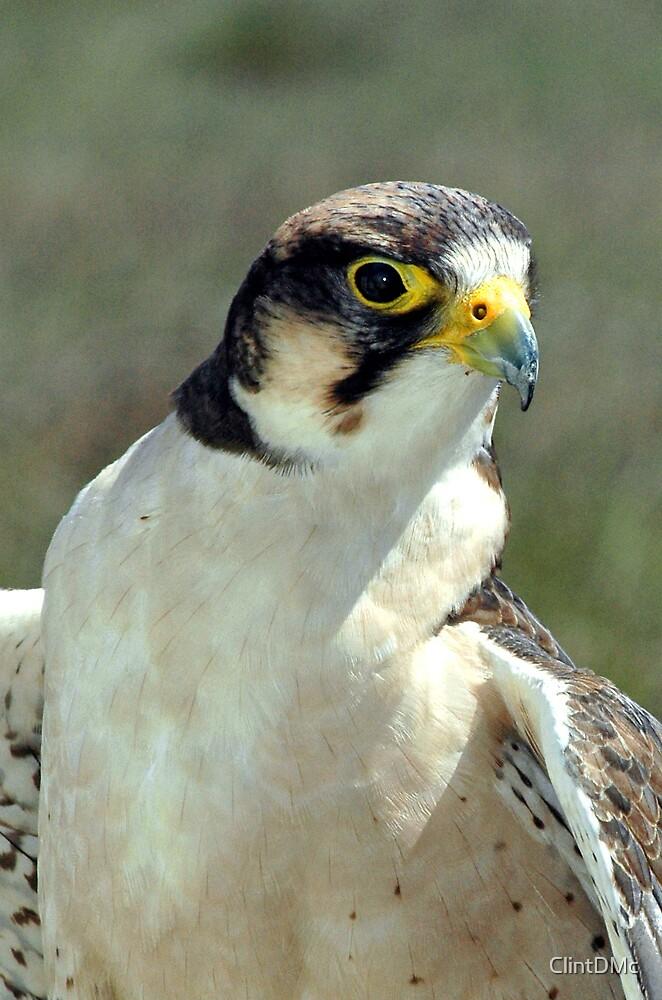 Peregrine Falcon by ClintDMc