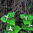 trilliums by Bruce  Dickson