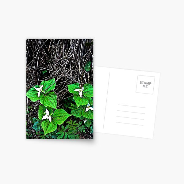 trilliums Postcard