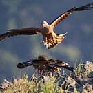 Black Kite vs young Egyptian Vulture by Dominika Aniola