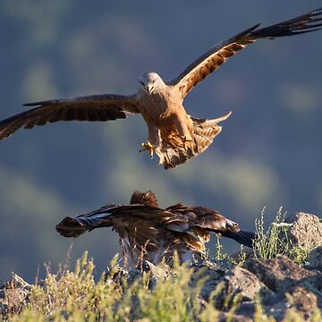 Black Kite vs young Egyptian Vulture by domcia
