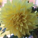 A Beautiful Yellow Dahlia.... by DonnaMoore