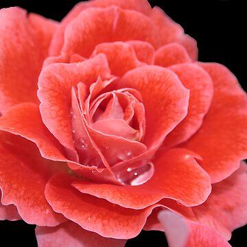 Raspberry Rose by KJREAY