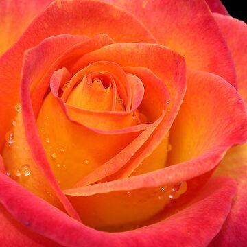 Two-tone Rose by KJREAY