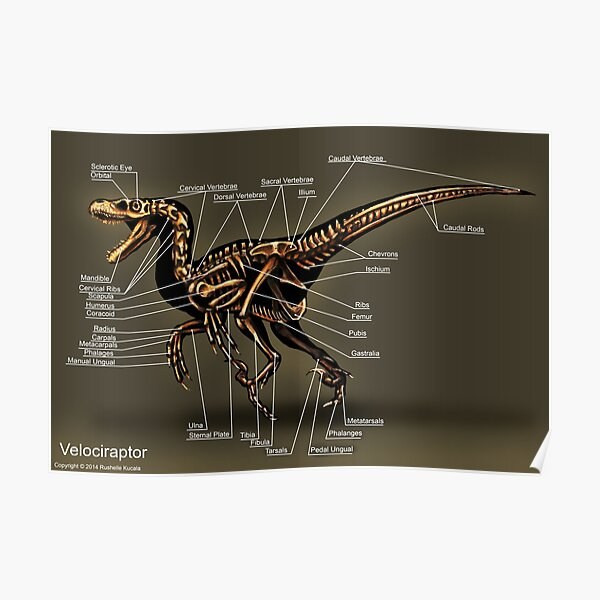 Velociraptor Skeleton Study Poster