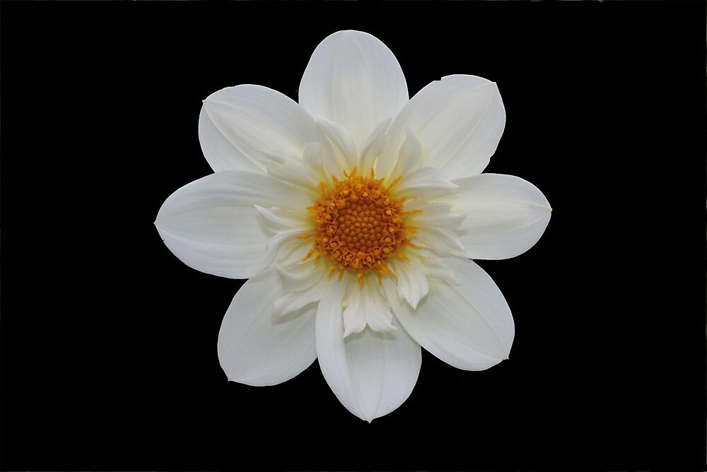 White Dahlia by KJREAY