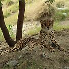 Cheetah--- The world's fastest land mammal........ by DonnaMoore