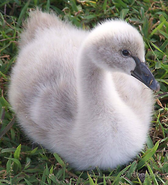 Cygnet Gold Coast Australia by littleeagle5