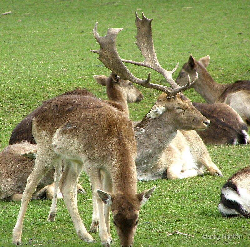 Stag Sleeping Whitworth Park by Barry Norton