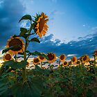 Sunflowers by Alla Gill