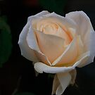 Champagne coloured Rose.......!! by Roy  Massicks