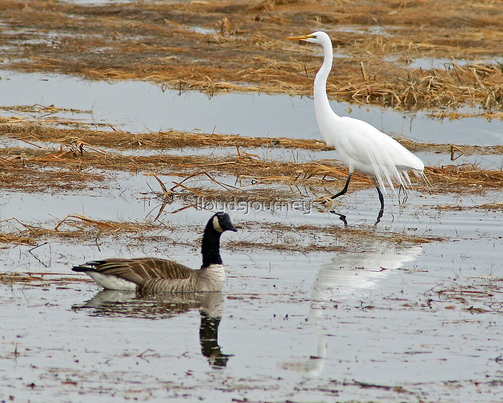 Great White Egret and Canadian Goose by lloydsjourney