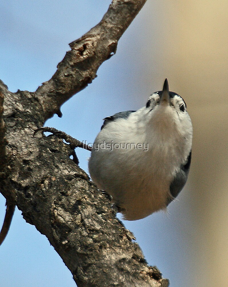 curious white breasted nuthatch by lloydsjourney