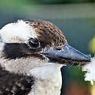 Kookaburra  by cs-cookie