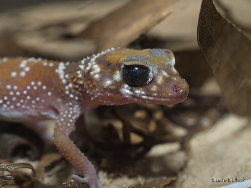 Thick Tail Gecko by Steve Bullock