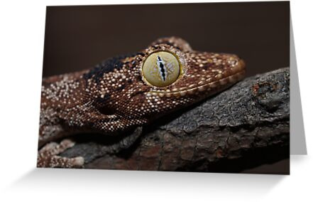 Spiny Tailed Gecko Adult by Steve Bullock