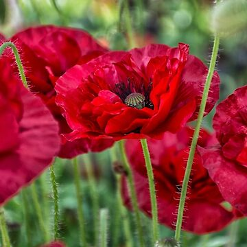 Wimpole Poppies by lisa1970