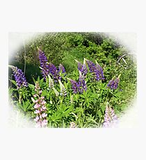 Lupin Garden Photographic Print