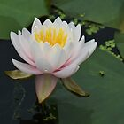 Pond Lily after the rain... by Poete100
