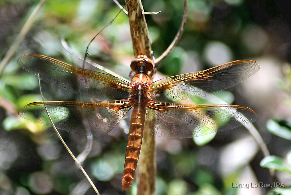 Flame Skimmer by Lenny La Rue, IPA