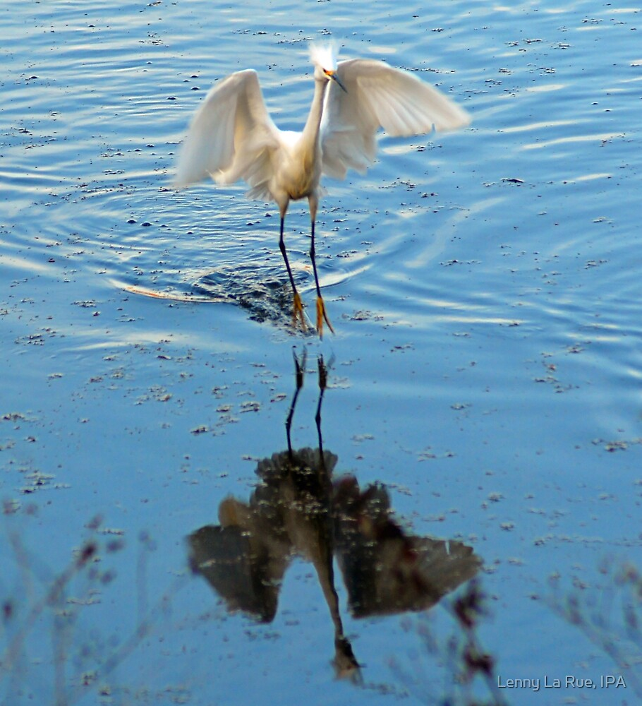 Mr Cattle Egret's Bad Day by Lenny La Rue, IPA