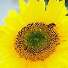 Sunflower by julie08