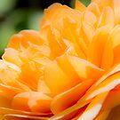 Orange Rose by Dave Hare