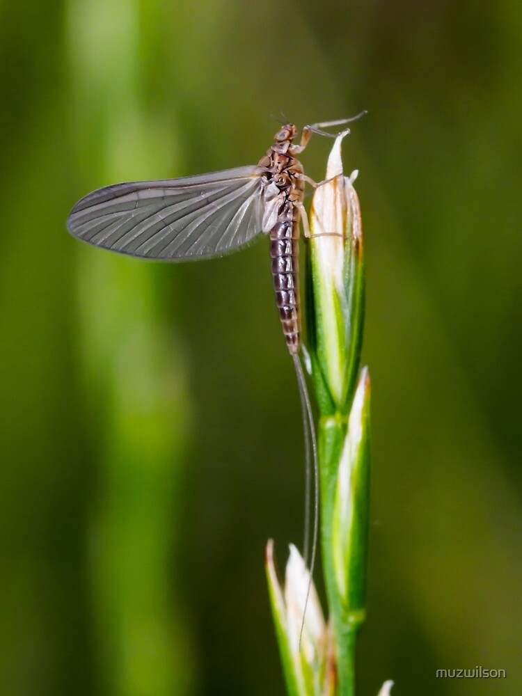 Mayfly Dun by muzwilson
