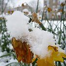 Snowy daffodils by Caroline Cage