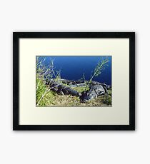 A walk on the wild side with Alligators at Paynes Prairie  Framed Print