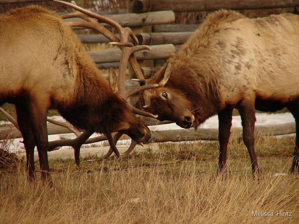 Elk Fight 2 by Melissa  Hintz