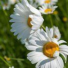 I Love Daisies by Rebecca Bryson