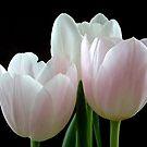 Three Tulips by Yampimon