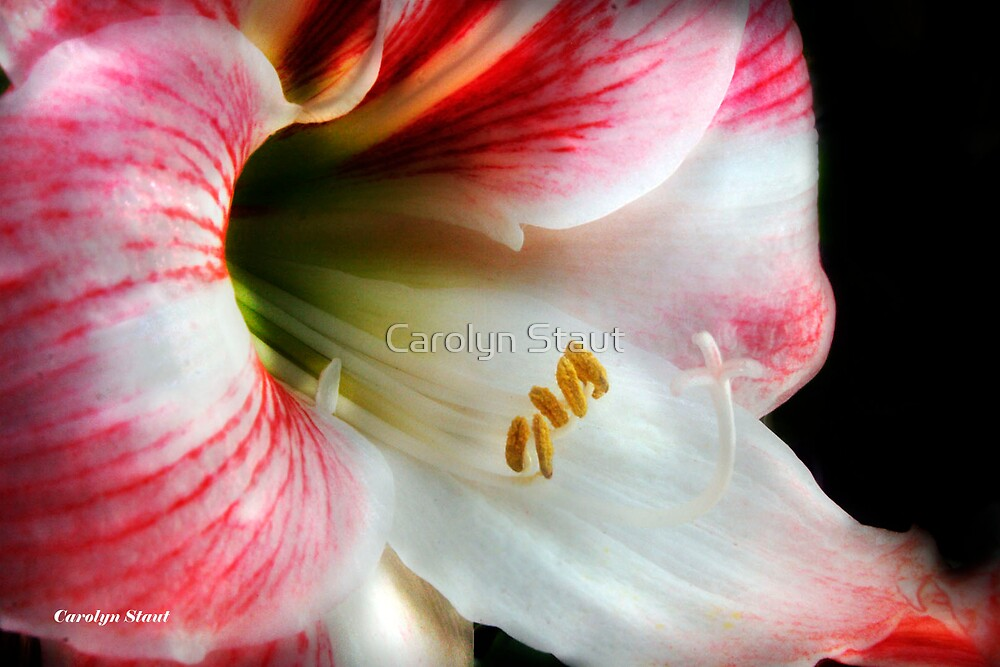 Barbara's Lilly by Carolyn Staut