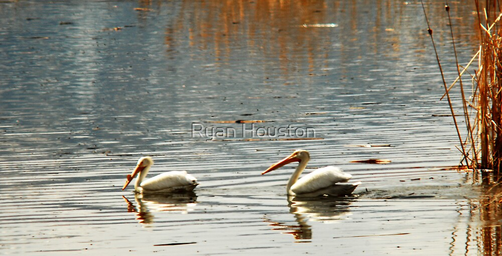 White Pelicans Swimming by Ryan Houston