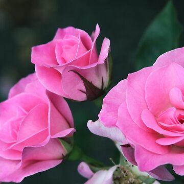Sweet Inspiration Floribunda Rose by NinoRobert