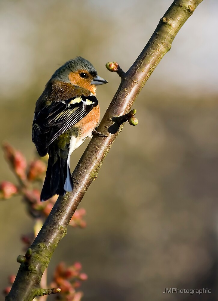 Chaffinch by JMPhotographic