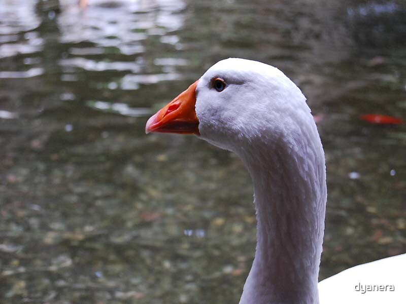 White Goose in Barcelona Cathedral's Cloister by dyanera