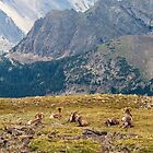 Bighorn Sheep in Rocky Mountains National Park by Alla Gill