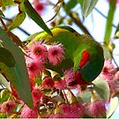 Musk Lorikeet by Echidna  Walkabout