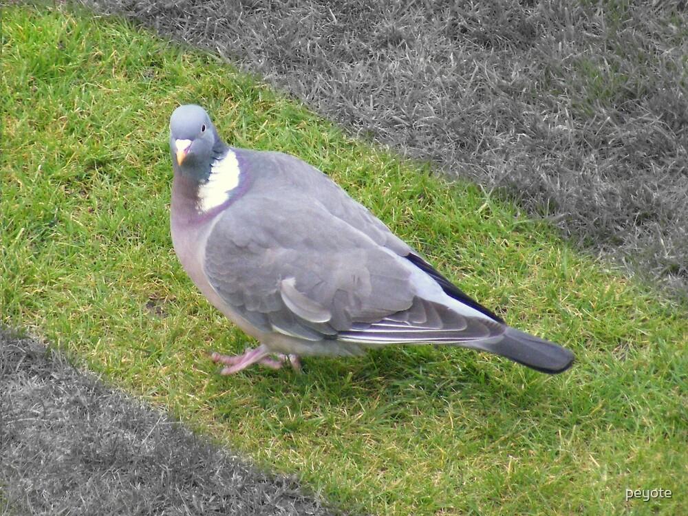 Pigeon Path by peyote