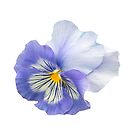 Pansy by Catherine Hamilton-Veal  ©