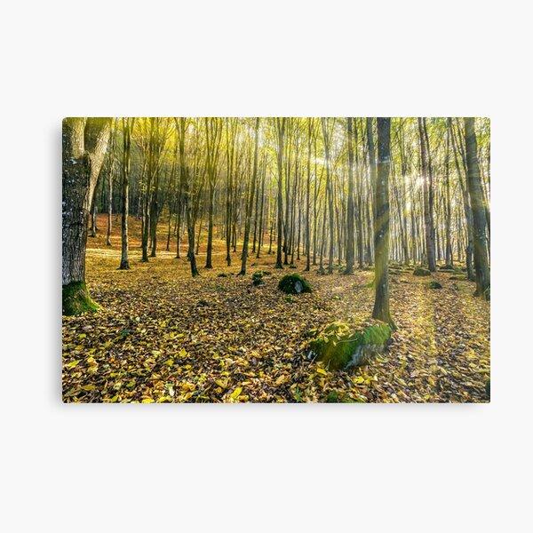 foggy autumn forest in sun rays Metal Print