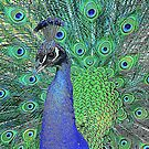 Peacock Illustration by TinaGraphics