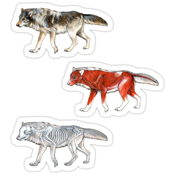 Wolf Anatomie\