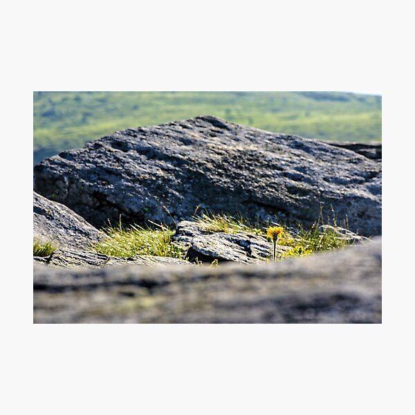 dandelion among the boulders on hill side Photographic Print