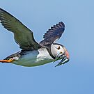 Puffin in flight with sandeels by Alan Forder