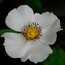 Cherokee Rose by Jonicool